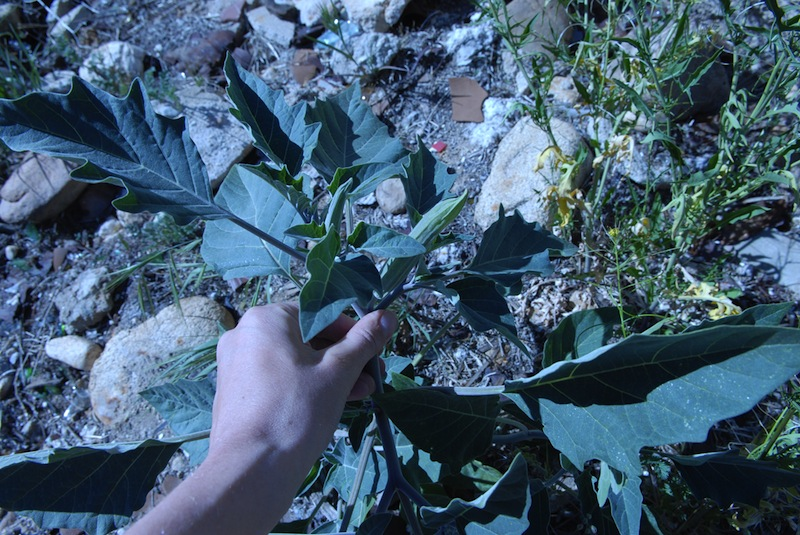 Datura, Llano del Rio colony, Antelope Valley, California, 2011